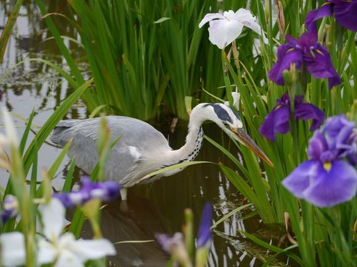 鳥と花菖蒲.jpg